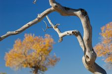 Free Withered Branch Royalty Free Stock Photo - 3655125