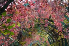 Free Autumn Grape Alley-2 Royalty Free Stock Photos - 3655288
