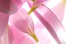 Free Pink Petals Stock Photos - 3655313