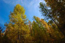 Free Pine Trees Stock Image - 3655411