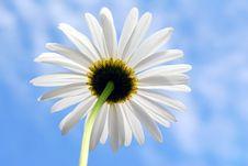Free Daisy Royalty Free Stock Photos - 3655578