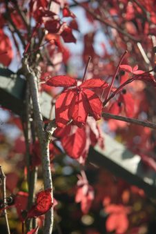 Free Red Autumn Leaves Royalty Free Stock Photo - 3655765