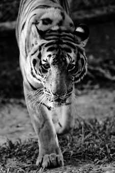 Free Tiger Royalty Free Stock Photos - 3656158