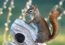 Free Red Squirrel Stock Photography - 3656322