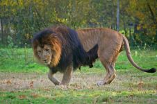 Free Lion Royalty Free Stock Images - 3657389