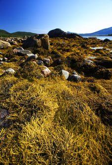 Free Algae At Low Tide Stock Photos - 3658483