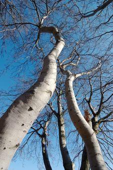 Free Beech Trees Royalty Free Stock Photography - 3659357