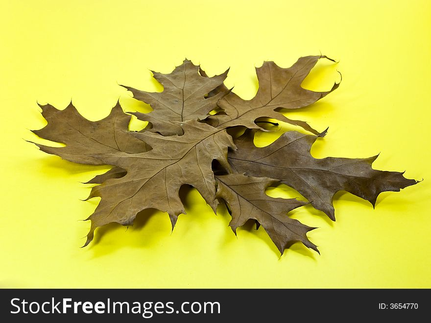 Dry oak leaves on yellow background