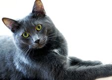 Free Regal Blue Gray House Cat Stock Photos - 36500133