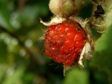 Free Wild Berry Royalty Free Stock Image - 36503506
