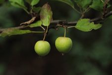 Free Crab Apples Royalty Free Stock Images - 36506989