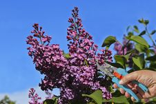 Free Lilac Blooming Spring Royalty Free Stock Photo - 36507095
