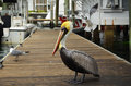 Free Yellow Headed Pelican Royalty Free Stock Image - 36510656
