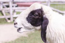 Sheep Head Royalty Free Stock Photo