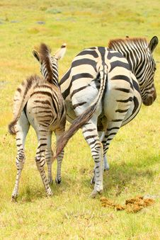 Free Two Zebra Booties Stock Photography - 36517872