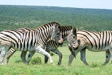 Free Herd Of Zebras Stock Images - 36517954