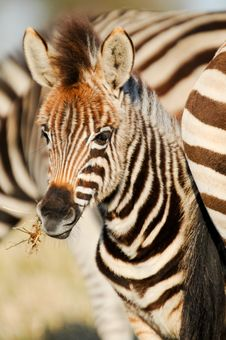 Free Zebra Foal Stock Photography - 36518062