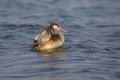 Free Great Crested Grebe &x28;Podiceps Cristatus&x29;. Royalty Free Stock Image - 36520336