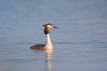 Free Great Crested Grebe &x28;Podiceps Cristatus&x29;. Stock Image - 36520351