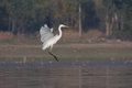 Free Great Egret/Ardea Alba. Royalty Free Stock Photo - 36520375