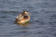 Great Crested Grebe &x28;Podiceps Cristatus&x29;. Royalty Free Stock Image