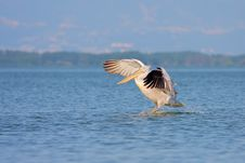 Dalmatian Pelican /Pelecanus Crispus/. Royalty Free Stock Photo