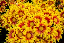 Chrysanthemum Beautiful Flowers Royalty Free Stock Images