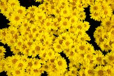 Chrysanthemum Beautiful Flowers Royalty Free Stock Photo