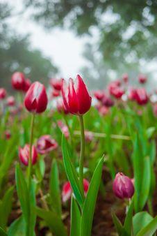 Free Multi Coloured Tulips Stock Image - 36523121