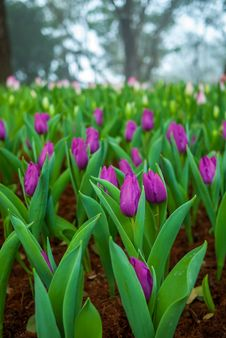 Free Multi Coloured Tulips Royalty Free Stock Photo - 36523175