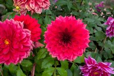 Chrysanthemum Beautiful Flowers Royalty Free Stock Photos