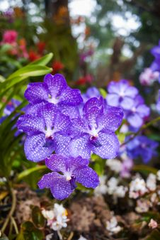 Free Purple Orchid Stock Photography - 36524532