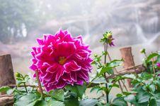 Free Chrysanthemum Royalty Free Stock Photos - 36524648