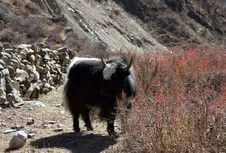 Free Yak Graze In The High Mountains Of Nepal Royalty Free Stock Images - 36528549
