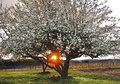 Free Apple Trees In Full Blossom With Sunray Stock Image - 36539431