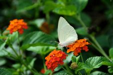 Free The White Butterfly Royalty Free Stock Image - 36532486