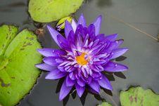 Free Lotus Flowers Are Mauve Stock Image - 36534521