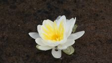 Free White Water Lily Stock Images - 36536974