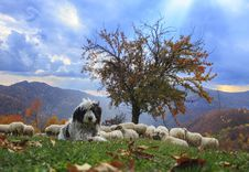 Free Lambs In The Autumn In The Mountains Stock Image - 36537951