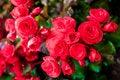 Free Red Big Begonia Royalty Free Stock Photos - 36541158