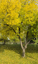 Free Yellow Tree Stock Photography - 36549912