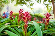 Free Bromeliads Stock Photography - 36540412