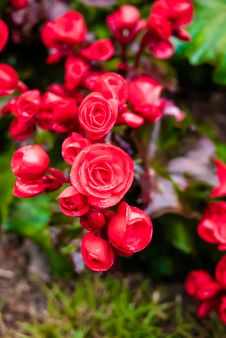 Free Red Big Begonia Royalty Free Stock Photography - 36541027