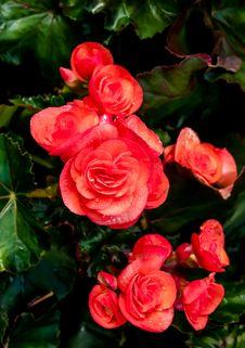 Free Big Begonia Stock Images - 36541264