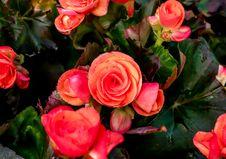 Free Big Begonia Royalty Free Stock Photo - 36541265