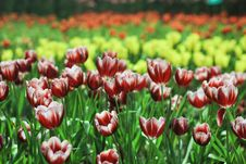 Free Beautiful Tulips In Thailand Royalty Free Stock Photo - 36542415