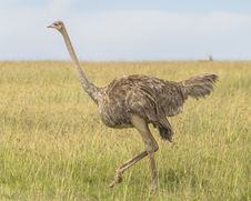 Free African Ostrich Stock Photos - 36542563