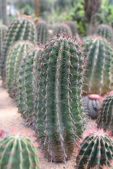 Free Cactus Stock Photos - 36542623