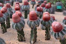 Free Cactus Royalty Free Stock Image - 36542666