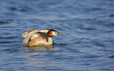 Free Great Crested Grebe &x28;Podiceps Cristatus&x29;. Royalty Free Stock Photos - 36546278